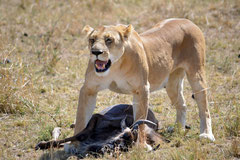 a lioness after the hunt @ Mara River