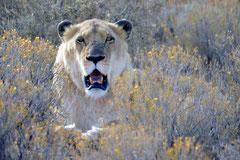 Cape lion at Inverdoorn