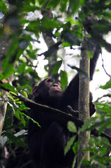 Chimp - Kibale National Forest