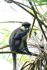 L'Hoest's Monkey - Bigodi Wetland Sanctuary - Kibale National Forest