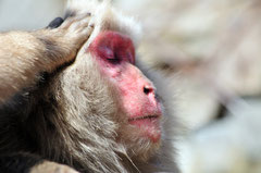 Jigokudani Snow Monkeys - Yudanaka