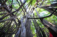 Sacred Tree - Ampombolava