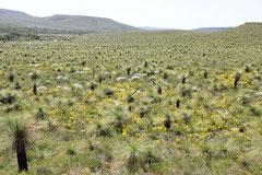 Baumfarne im Lesueur NP - Größte Artenvielfalt an Pflanzen zumindest in Westaustralien