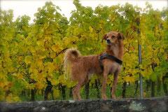 Bensheimer Weinlagen,T-Dogs,20.10.13, Foto Nr.11