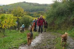 Bensheimer Weinlagen,T-Dogs,20.10.13, Foto Nr.17