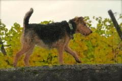 Bensheimer Weinlagen,T-Dogs,20.10.13, Foto Nr.12