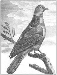 Tourterelle grise. Elle est de la grosseur de la tourterelle blanche ; le dessus de la tête est de couleur grise & le derrière d'un gris vineux foncé: le tour des yeux est garni de petites plumes blanches.