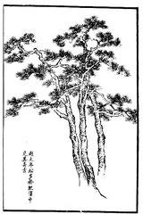 La singularité et l'antiquité des pins de Tchao Ta-nien se trouve surtout dans leur prospérité.