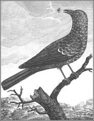 Merle bleu. Il est de la taille du merle d'Europe ; tout l'oiseau est d'un bleu violet changeant ; les plumes de la tête, du col, de la poitrine, & les petites couvertures des ailes sont terminées par une bande d'un bleu violet chatoyant.