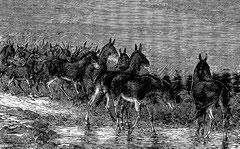 Troupeau d'ânes sauvages