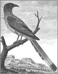 Pie rousse. Cet oiseau a tous les caractères de la pie ; son bec est fort, en cône allongé & un peu courbé ; il a quatre doigts à chaque pied, les ongles crochus, dix plumes à la queue qui est aussi longue que le corps & par étage.
