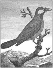 Petit geay. Cet oiseau a tous les caractères du geay, quoiqu'il n'ait pas le brillant des couleurs ordinaires dans cette espèce. Son bec est droit, long, comprimé sur les côtés ; les plumes de la base du bec sont dirigées en avant & couvrent les narines.