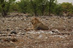 Löwen im Etoshapark