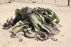 Welwitschia 1400 Jahre alt