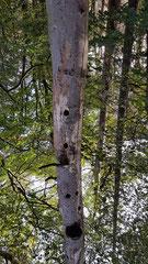abgestorbener Baum mit Spechthöhle