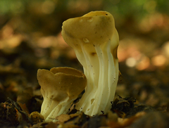 Bokaalkluifzwam - Helvella acetabulum