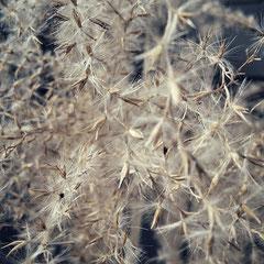 Samenstände vom Zebragras Anfang des Jahres