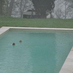 Du coup, que font les canards, ils vont prendre un bain dans la piscine