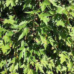 Hellgrüne Blattoberseite von jungen Blättern, Foto HK.; Aufnahme-Datum: 27.09.2018