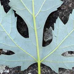 Die silbrige und dem Baum den Namen gebende Blattunterseite, Foto HK.; Aufnahme-Datum: 27.09.2018