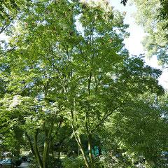 Habitus im Bestand mit anderen Bäumen, Foto HK.; Aufnahme-Datum:    30.09.2018