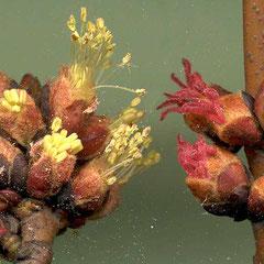 Männliche Blüte links, weibliche Blüte rechts, Foto HK.; Aufnahme-Datum: 01.03. 2014