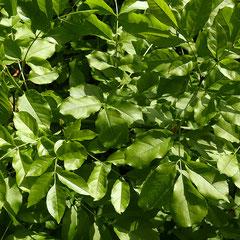 Die Draufsicht auf eine Blattpartie zeigt die mattgrünen Blattoberseiten, Foto HK.; Aufnahme-Datum: 27.04.2018