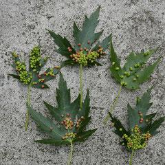 Blätter mit Hörnchengallen von Ahorn-Gallmilben, Foto HK.; Aufnahme-Datum:07.05. 2015