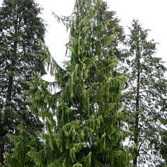 Chamaecyparis nootkatensis, Bildmitte im Verbund mit Sequoia sempervirens