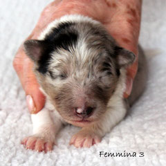 Femmina 3/girl3         peso alla nascita/ weight to born 290gr.   blue merle
