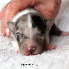 Femmina 1 / girl 1     peso alla nascita/ weight to born 210gr.       blue merle