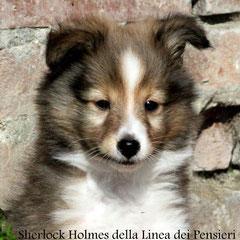 Sherlock Holmes                 maschio fulvo                prenotato