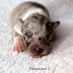 Femmina 2 /girl 2      weight to born 170 gr.      blue merle