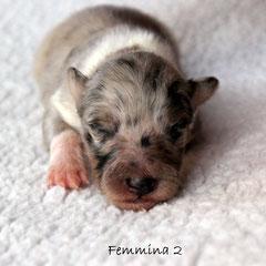 Femmina 2 /girl 2      weight to born 170 gr.      blue merle