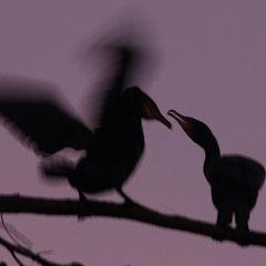 Grand cormoran (France)