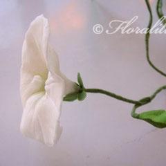 Zucker-Winden 2011 von Floralilie