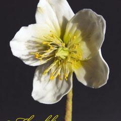 Christrose von Floralilie