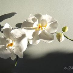 Weiße Zuckerorchidee von Floralilie 2010