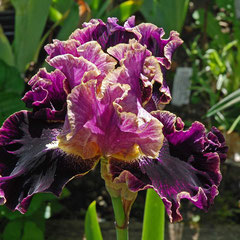 Iris barbata elatior 'Spirit World' 14/06