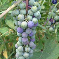 Virginia Wine grapes