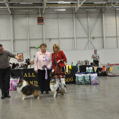 All Ireland Shetland Sheepdog Club Ch Show May 2013-   Best in Show GIRL SEXY GIRL DES ROMARINS DE MAYERLING AT SEVENOAKS JNR CHAMPION (Joe & Brenda Doyle) & RBIS CH SEVENOAKS GOLD EDITION CW11 AN CH. 11, 12 (Joe & Brenda Doyle)