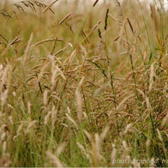 Neben Knaulgras findet man hier viele andere Gräser, die auch für die Verfütterung an Wellensittiche geeignet sind.
