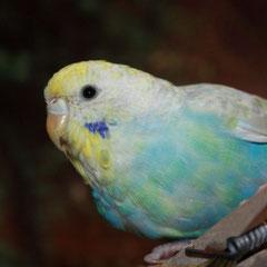 21.01.2011 - Etwas mehr als 3 Monate ist sie nun alt. Nach der Mauser sieht man nun verstärkt gelbe Federn auf ihrem Bäuchlein und Rücken. Das ehemals hellblaue Gefieder beginnt sich optisch zu verändern.