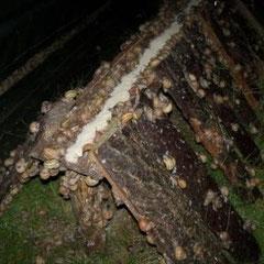 escargot morvandiau élevage escargots Bourgogne Morvan gros gris adultes 2