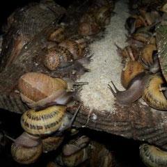 escargot morvandiau élevage escargots Bourgogne Morvan gros gris adultes