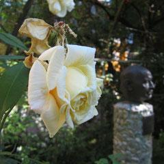 Bernhard Borst freut sich über die Rosen