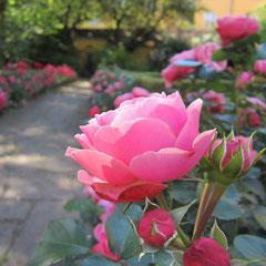 Die Rosen warten - im Rosengarten