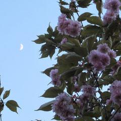Tagesmond und Kirschblüte