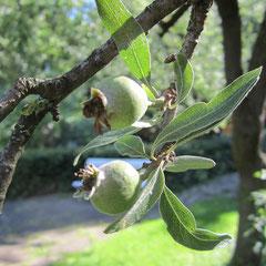 Die Weidenblättrige Birne hat schon Birnchen