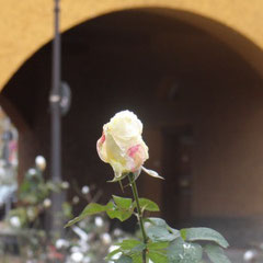 Edle Rose vor Torbogen